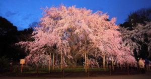 六義園の枝垂れ桜ライトアップ