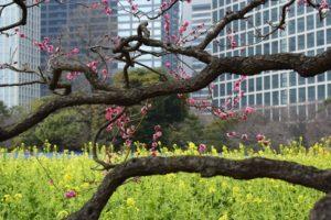 2014年の浜離宮の菜の花の開花