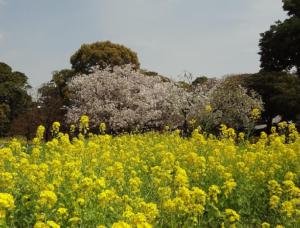 浜離宮の菜の花と桜