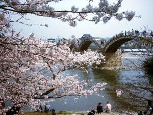 錦帯橋の桜満開