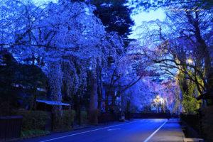 角舘武家屋敷通りの桜