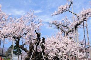 神代桜まつり