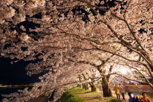 桧内川の桜並木