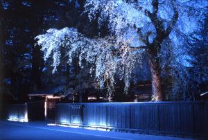 角舘の武家屋敷の青白い桜