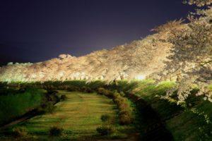 桧内川の夜桜ライトアップ